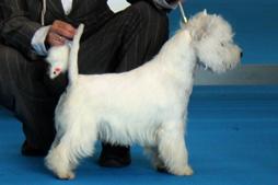 Only You Demerino, mejor cachorro westie en Talavera de la Reina 2012