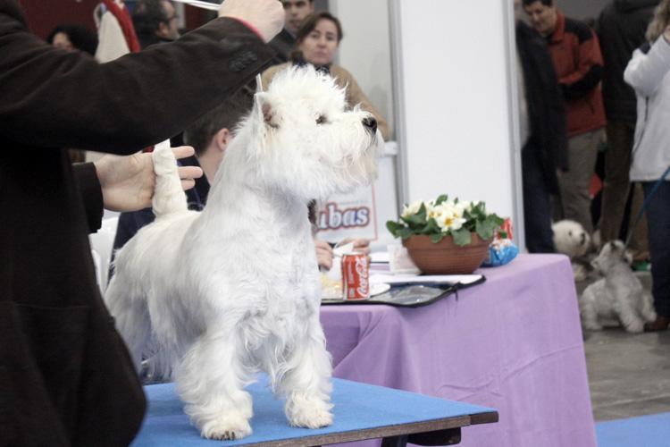 Imagine Demerino exponiendo en la XXXIII Exposición Nacional Canina Valladolid 2013