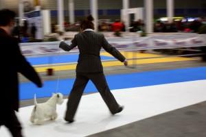 Only You Demerino presentando en la XXXIII Exposición Nacional Canina de Valladolid