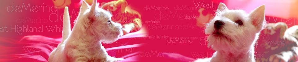 Westies Demerino - Westies Demerino: criadero familiar de West Highland White Terrier, cachorro westy, en Madrid. La mejor selección y garantías para tu westi