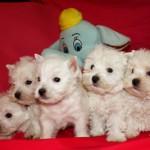 Cachorros de la Camada de Coni con Alborada Rock Star