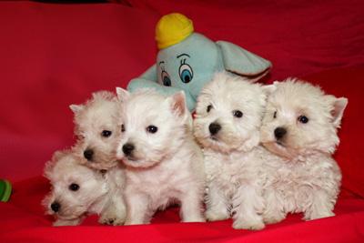 Cachorros de la Camada de Coni con Alborada Rock Star en el sofá