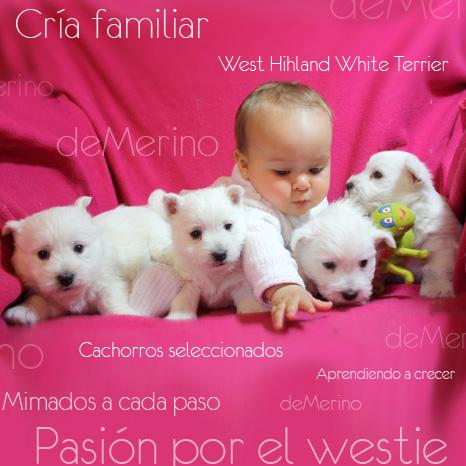 Weties Demerino. Cría familiar de West Highland White Terrier. Cachorros seleccionados y equilibrados. Aprendiendo a crecer. Pasión por el westy
