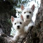 Cachorros de Kaboom del Goyepino