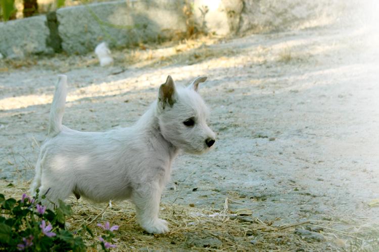 Cachorro de Kabbom del Goyepino