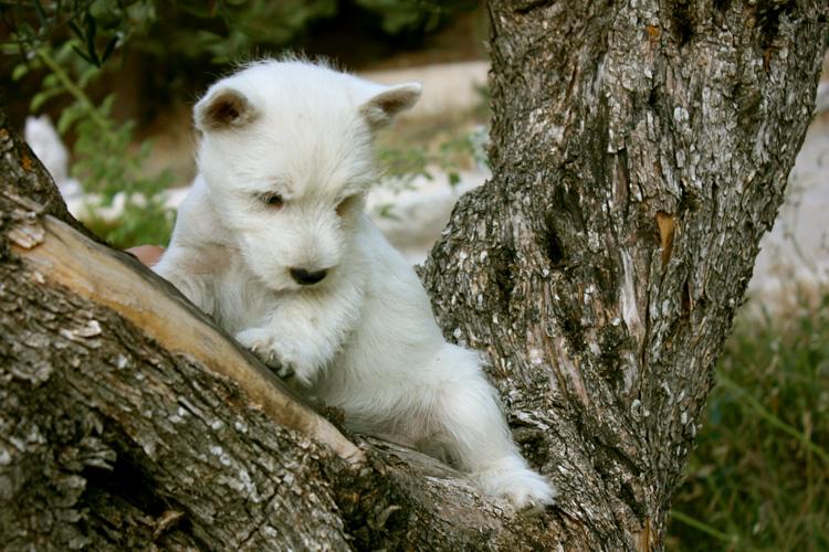 Cachorro de Kaboom del Goyepino