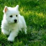 Cachorra de Fantasía Demerino