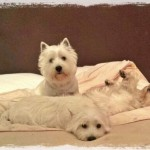3 Westies Demerino durmirendo en la cama