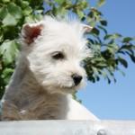 Cachorro de Fantasía Demerino y Naopoleón