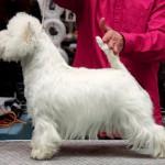 Perfil de Imagine Demerino, en la Exposición nacional Canina de Valladolid 2013