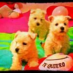Cachorros de west highland white terrier, hijos de Katana Demerino, posando con una flor