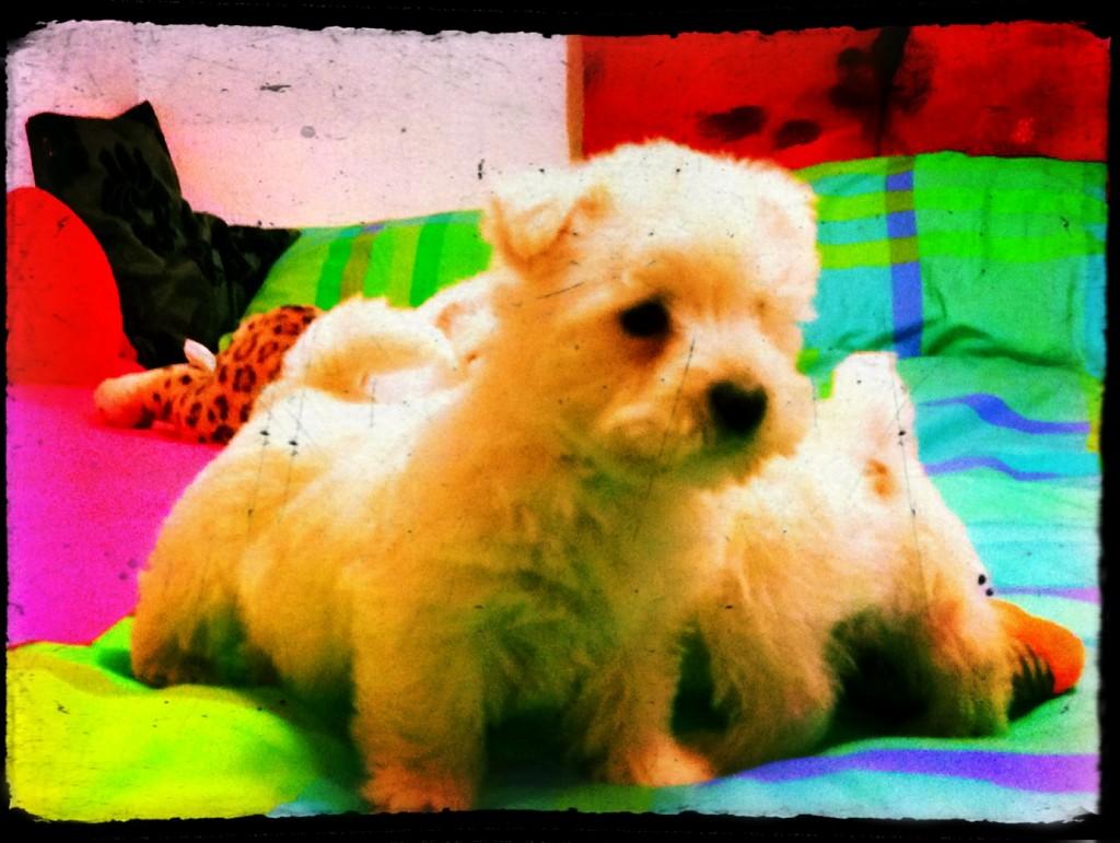 Cachorro de westy, hijo de Katana Demerino, jugando en una cama de casa