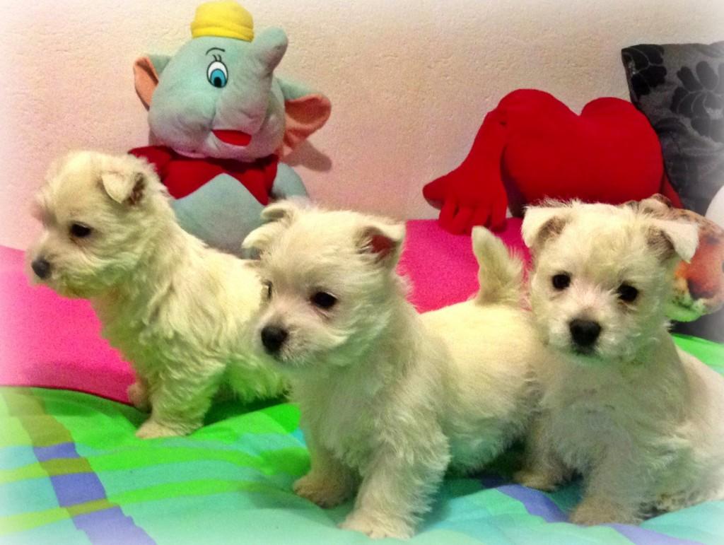 Cachorros de west highland white terrier, hijos de Katana Demerino, jugando en casa