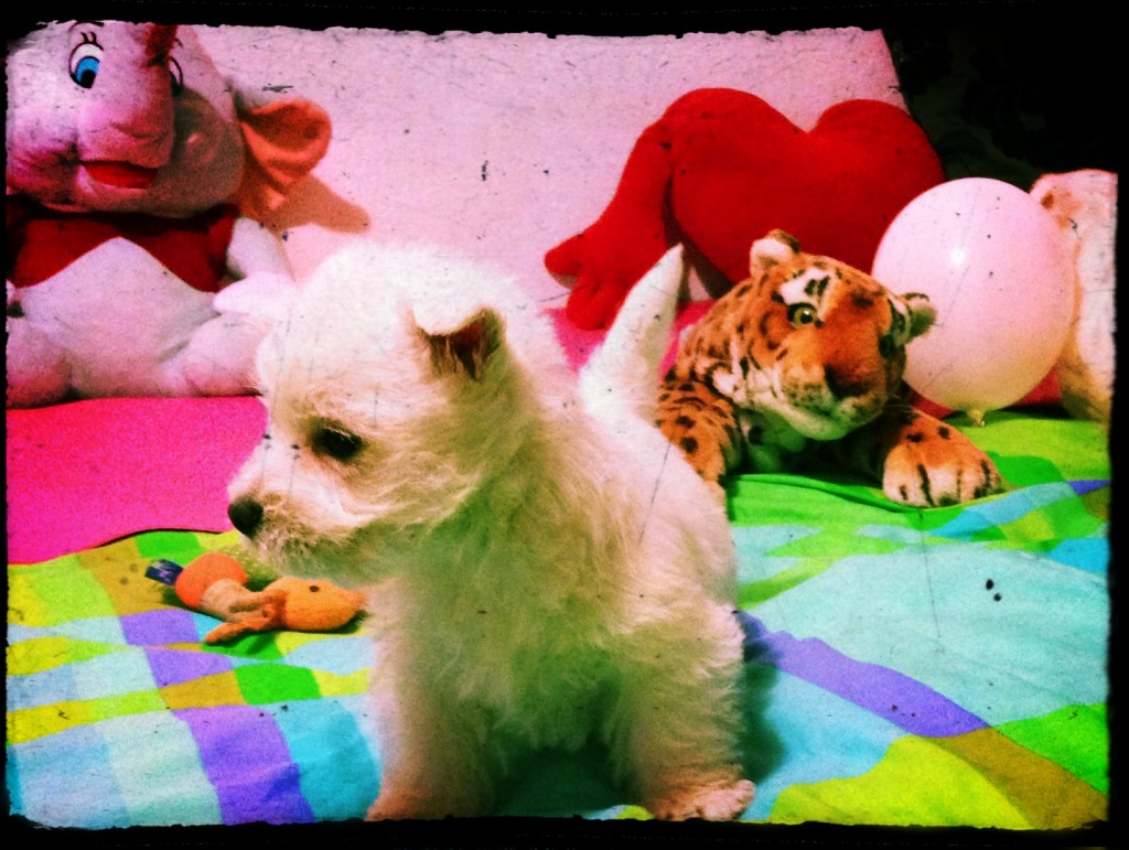 Cachorro de west highland white terrier, hijo de Katana Demerino jugando en casa