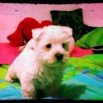 Cachorro de west highland white terrier, hijo de Katana Demerino