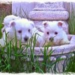 Cachorros de westie Demerino jugando en la fuente del jardín