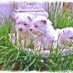 Cachorros Demerino jugando en la fuente del jardín