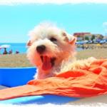 Uma Ryu Demerino, bostezando en la playa.