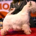 Only You Demerino, posado en la mesa, en la 85 Exposición Internacional Canina en Madrid 2013