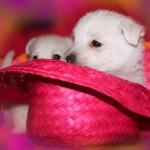 20130908-cachorros-kaka-be-a-star-005. Jugando con sombrero rosa