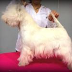 Only You Demerino, posando en la XXXIV Exposición Monográfica Nacional del Club Español de Terriers, celebrada el 9 de noviembre de 2013