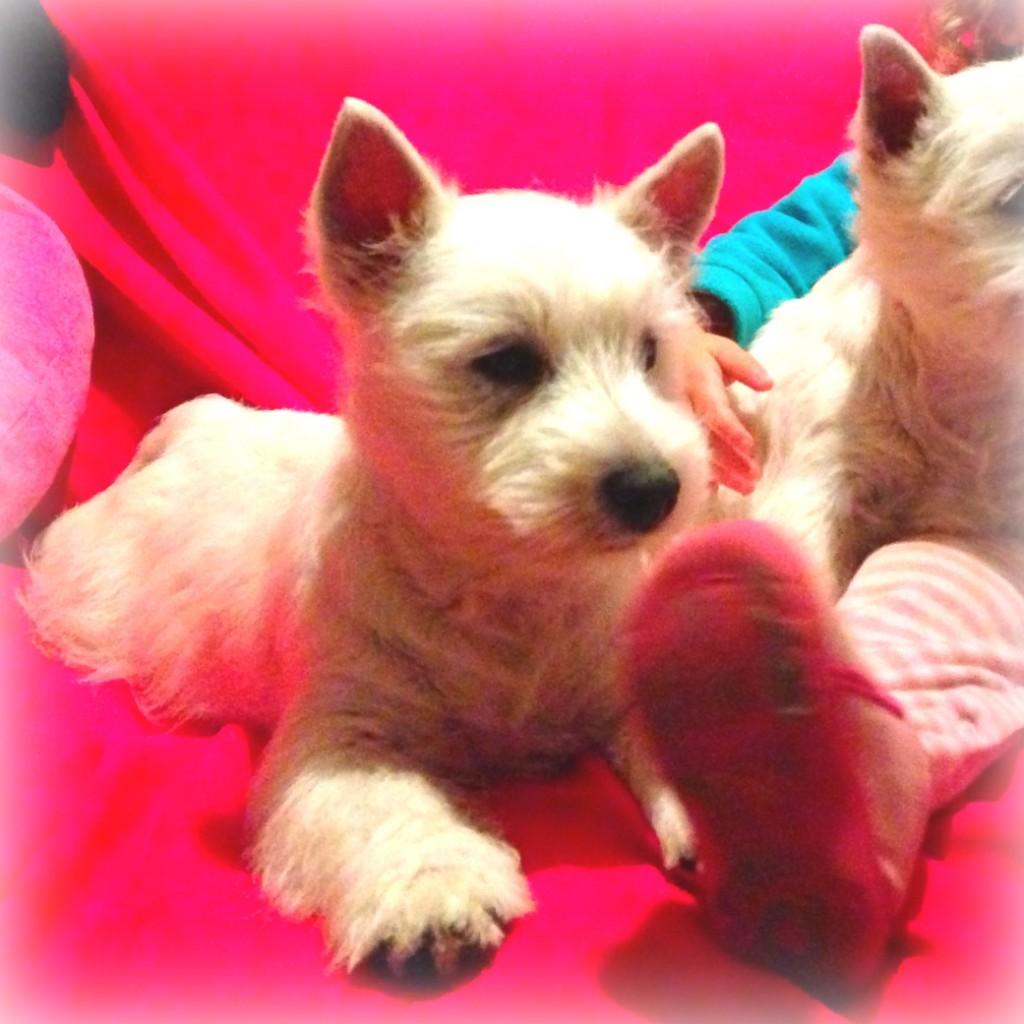 Cachorras westie hijas de Kaboom del Goyepino y The Dasing Devil's Be A Star viendo la tele en el sofá