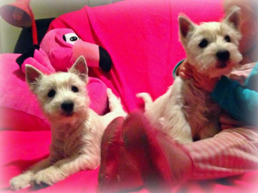 Cachorras westie hijas de Kaboom del Goyepino y The Dasing Devil's Be A Star jugando en el sofá