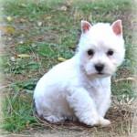 Cachorros de la camada de Fantasía Demerino y Show Me Demerino, descansando en el jardín, con dos meses