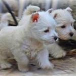 Cachorros de la camada de Fantasía Demerino y Show Me Demerino, jugando en el jardín, con dos meses