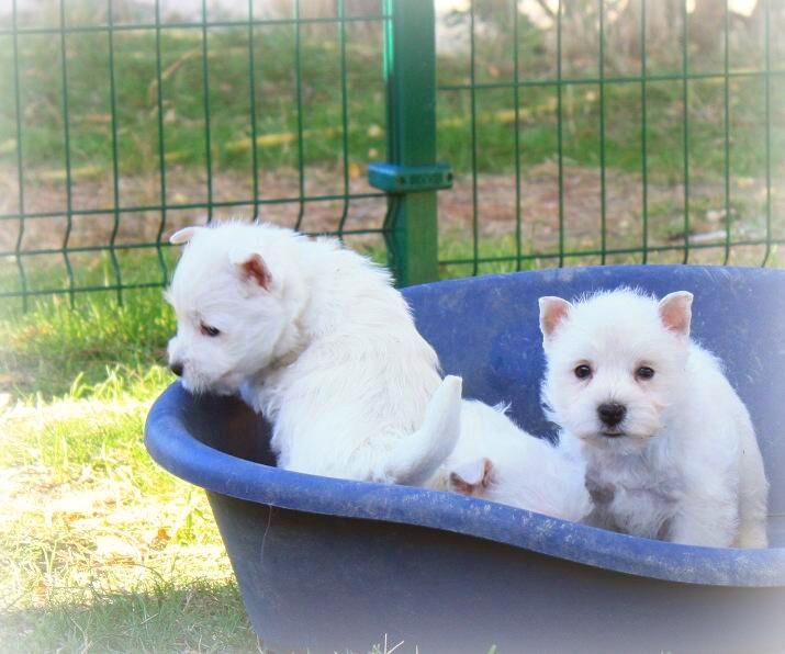 Cachorros de la camada de Fantasía Demerino y Show Me Demerino, aprendiendo a jugar en el jardín