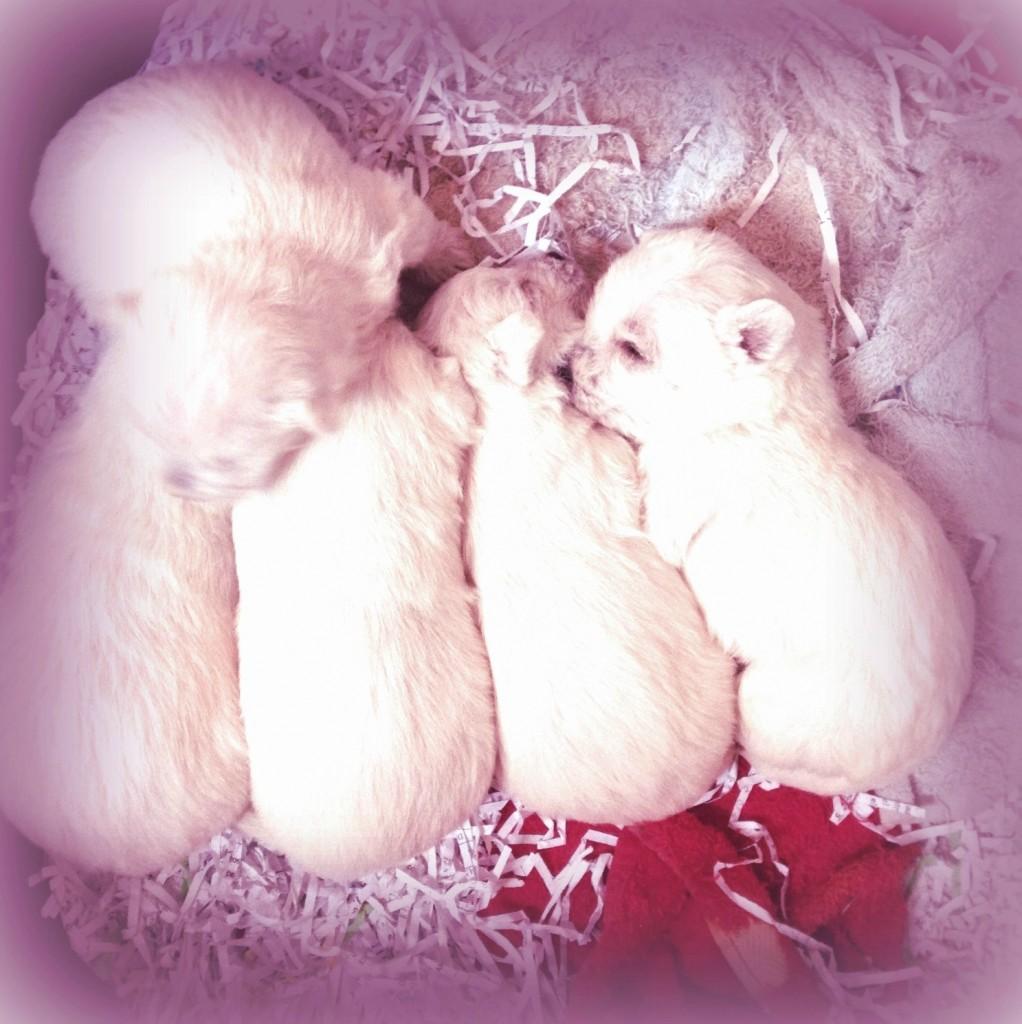 Cachorros de westie de 3 semanas de edad, hijos de Imagine Demerino y Pequeño Saltamontes Demerino