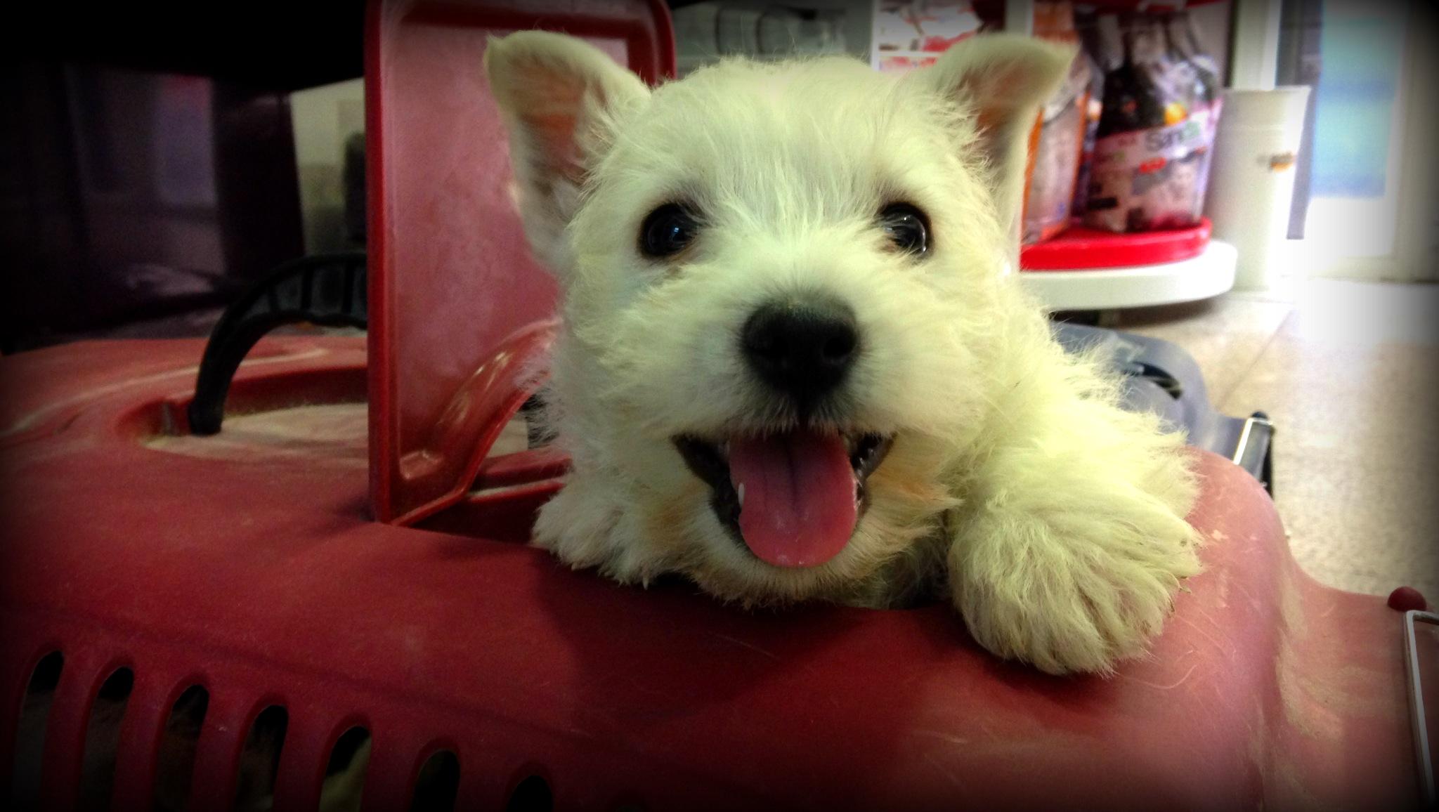 Cachorro de westie Demerino a la llegada al veterinario