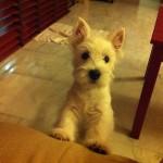 Tara - Oro Blanco Demerino intentando subir al sofá de cachorra