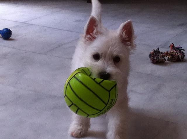 Tara- Oro Blanco Demerino jugando de cachorra con su peloa