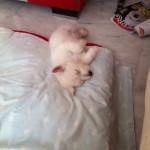 Tara - Oro Blanco Demerino, durmiendo en su cuna de cachorra