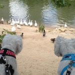 Valladolid - Westies Demerino buscando patos
