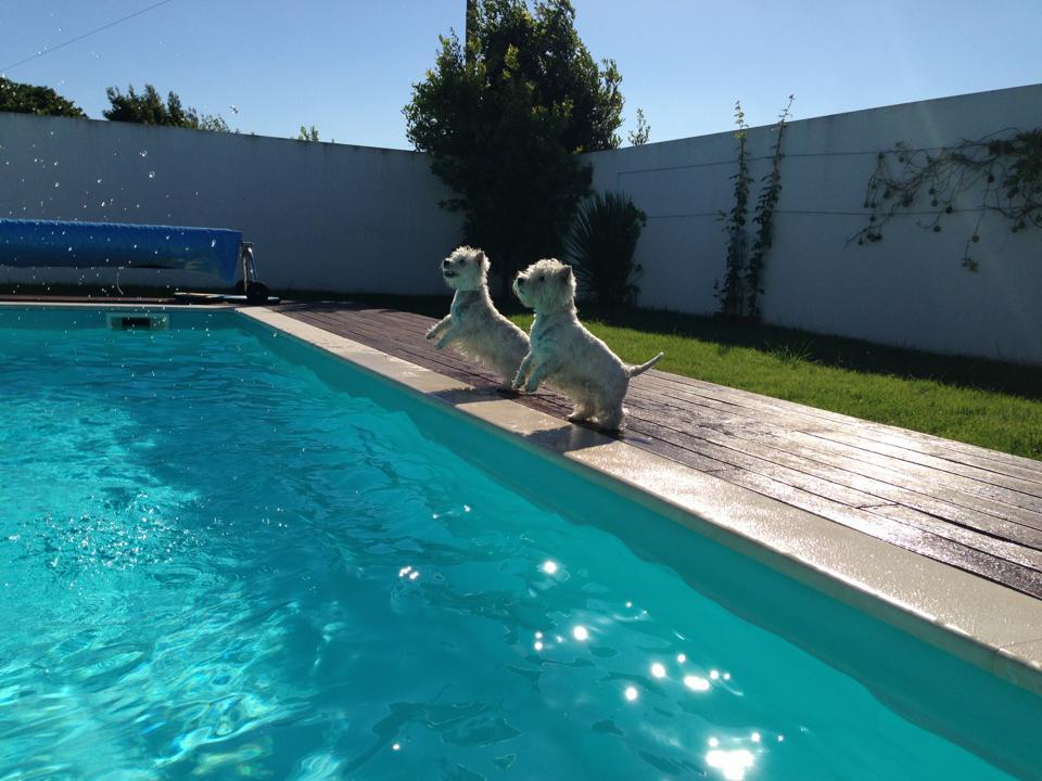 Valladolid - Westies saltando a la piscina