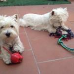 Valladolid - Westies Demerino jugando en la terraza