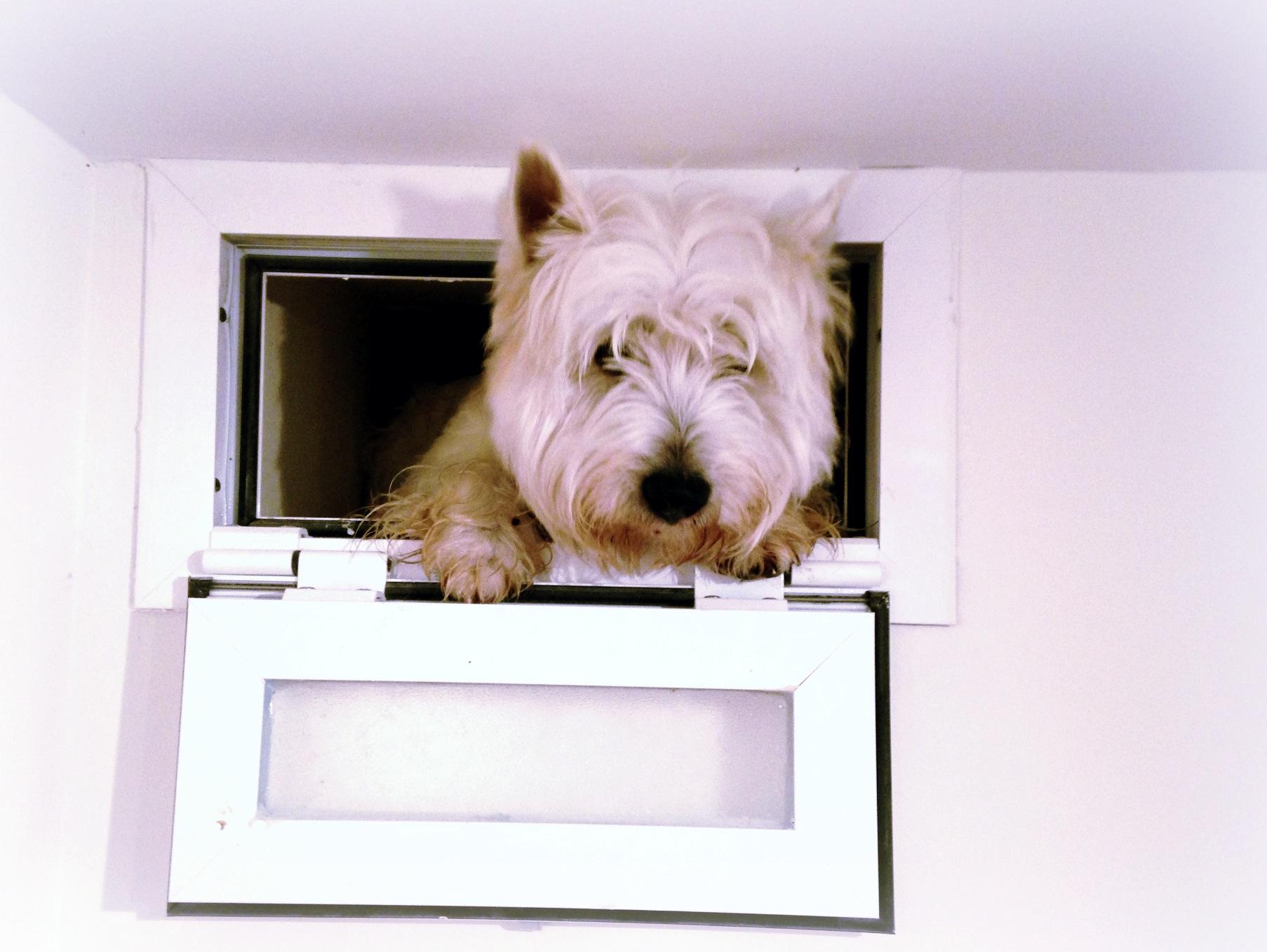 Pequeño Saltamontes Demerino intentando entrar en casa por la ventana
