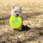 Westie Demerino jugando con el frisbee