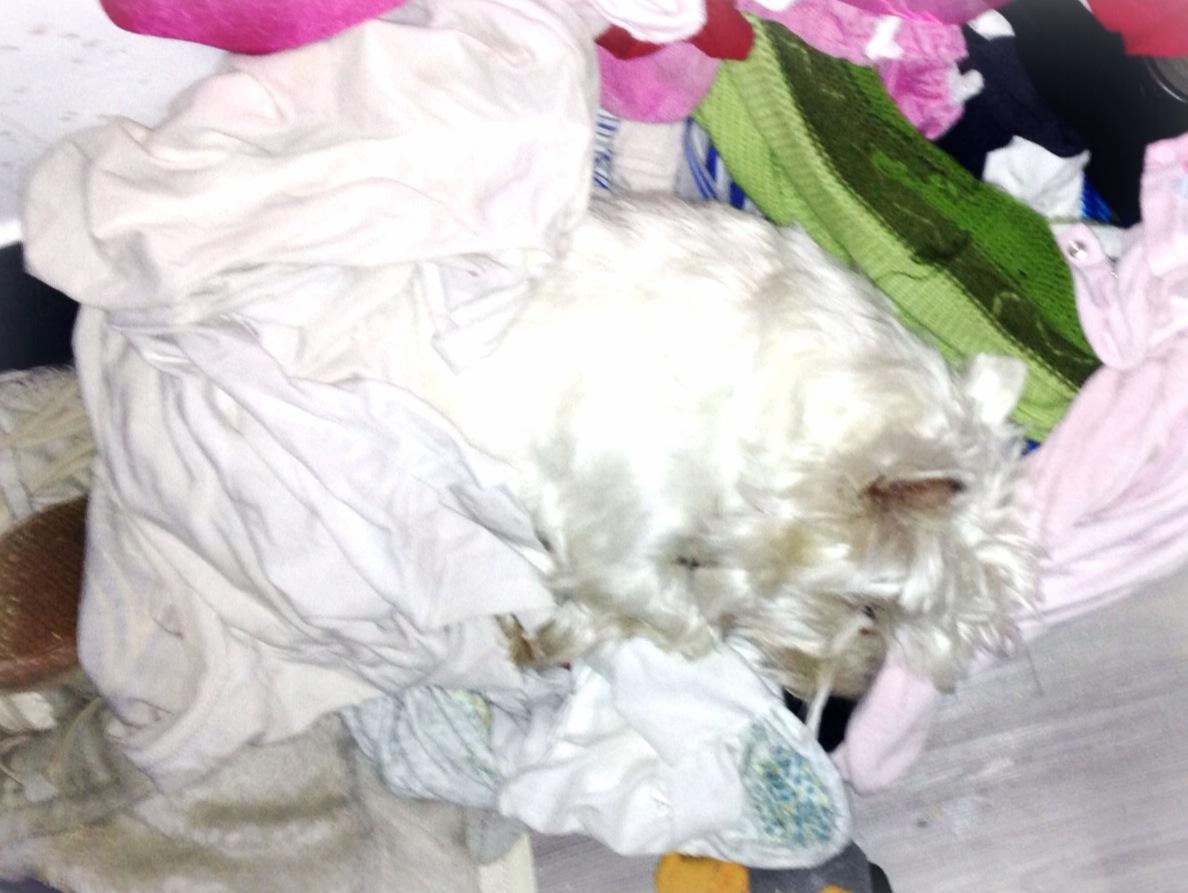 Westie durmiendo, camuflado entre la ropa
