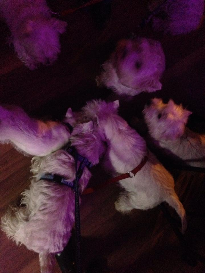 Westies en el bar