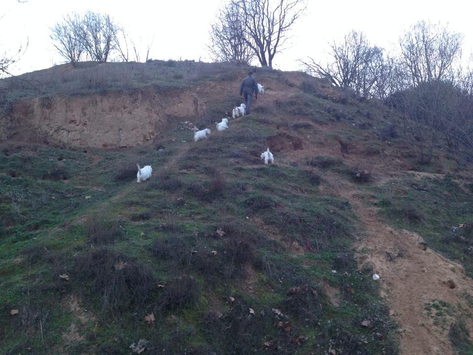 Westies subiendo la ladera
