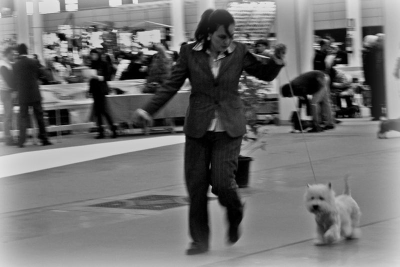 Only You Demerino compitiendo por el mejor westie de clase intermedia en la XXXI exposición internacional canina de Valladolid 2014
