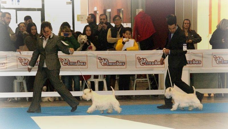 Only You Demerino compitiendo por el mejor macho westie de la XXXIV Exposición Nacional Canina de Valladolid 2014