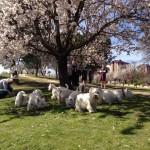 Floración de primavera con los Westies Demerino y otros amigos en Valladolid