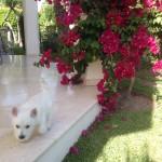 Bobby - Zippi Demerino en su jardín de Marbella jugando