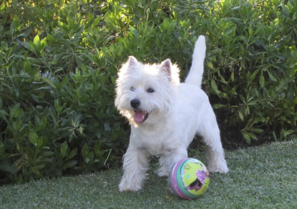 Bobby - Zippi Demerino en su jardín de Marbella jugando con la pelota