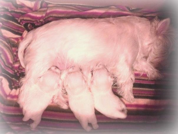 Cachorros de Pequeño Saltamontes Demerino y Vera, mamando, con una semana