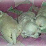 Cachorros de Vera y Pequeño Saltamontes Demerino con dos semanas